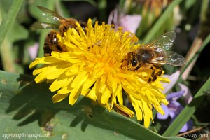 La récolte du pollen, un travail collectif