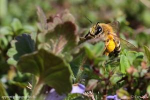 Une abeille chargée de pollen sous son abdomen