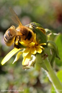 Les boutons de pissenlit à peine ouverts n'échappe pas à la quête de l'abeille