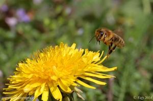 Une abeille atterrissant sur un pissenlit