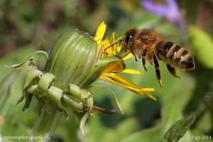 Notre abeille, en vol stationnaire, butinant un bouton de pissenlit