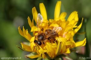 L'abeille et le pissenlit, un histoire d'amour