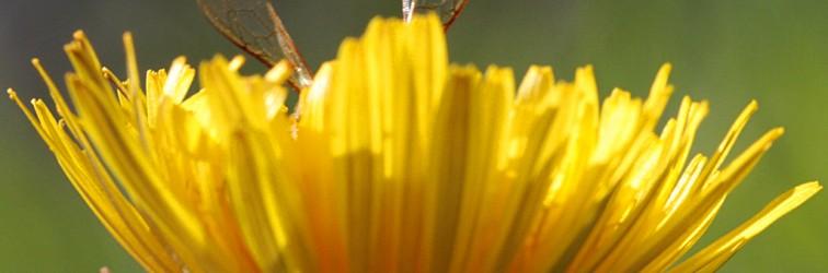 L'abeille et le pissenlit