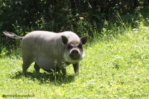 Un cochon sauvage