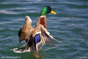 Première image en mode rafale d'un canard déployant ses ailes