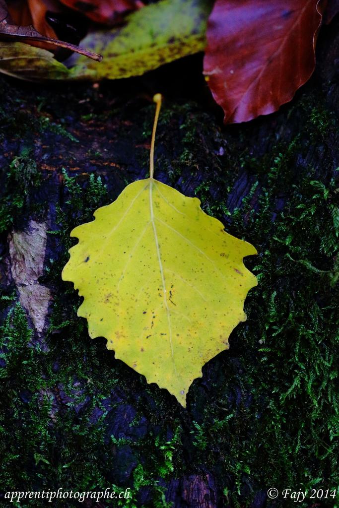 Feuilles d 39 automne - Feuille de bouleau photo ...