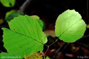 Les feuilles de ce Noisetier sont restées encore vertes