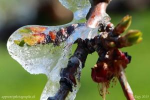 Ainsi que les feuilles de l'abricotier à peine sorties de leurs bourgeons