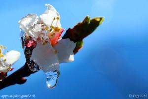 Le soleil du Valais libérant les fleurs du gel