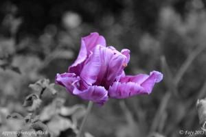 Tulipe bichromatique