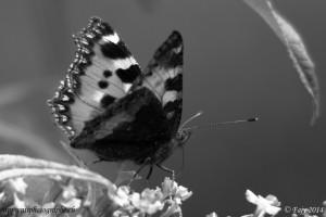 Le Papillon - Petite Tortue ou Vanesse de l'ortie - en Noir et Blanc