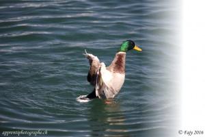 La même image du canard après conversion en Jpeg