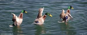 Superposition de 3 images du même canard après avoir activé la transparence