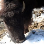Juraparc, Mont d'Orzeires, les bisons