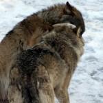 Juraparc, Mont d'Orzeires, les loups