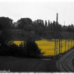 Colza en bordure d'une voie ferrée