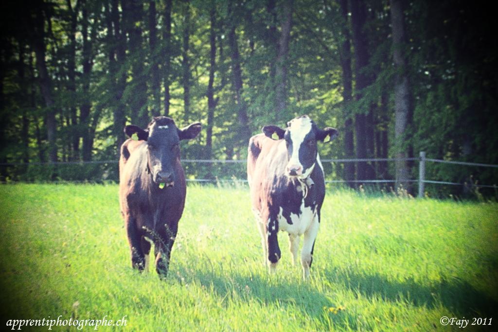 Vaches lomographiées
