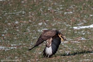 La buse variable a un plumage allant du brun-noir au blanchâtre, d'où son nom