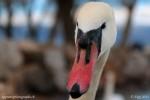 Toute la fierté de ce magnifique oiseau dans le portrait de ce cygne