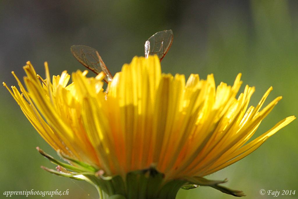 Les iiles d'une abeille dépassant d'un pissenlit