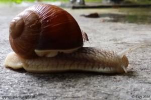 """Les escargots ont, eux aussi, leur """"poisson"""" pilote"""