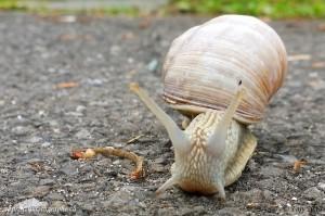 Notre escargot, photographié de face