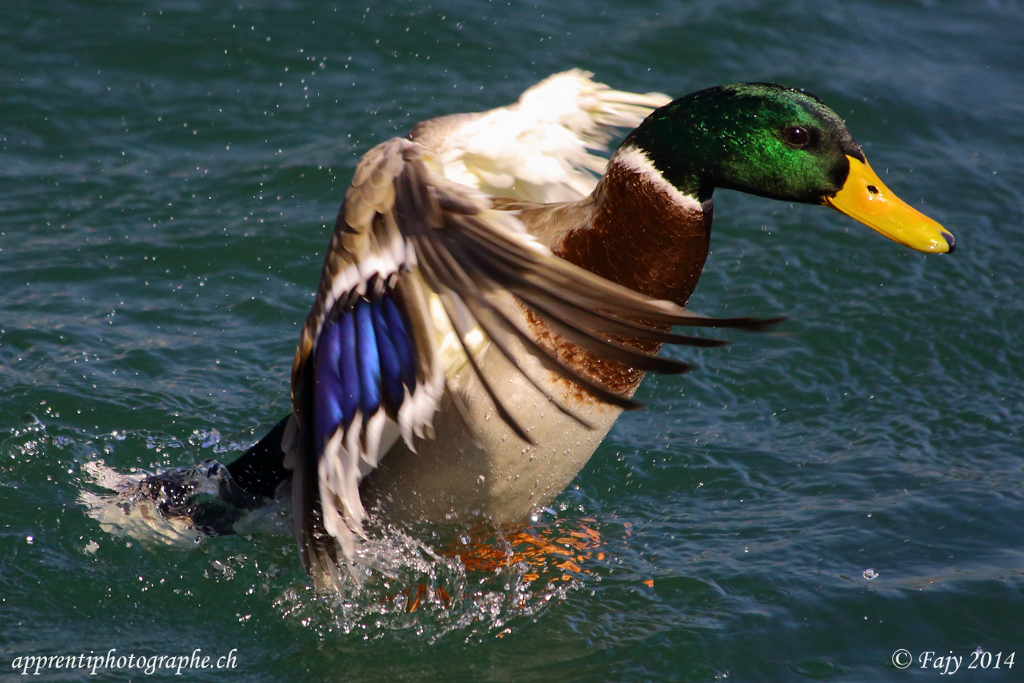 Quatrième image en mode rafale d'un canard déployant ses ailes, plan serré