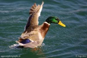 Troisième image en mode rafale d'un canard déployant ses ailes
