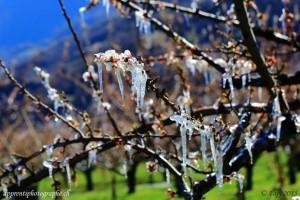 On arrose les arbres afin de les protéger du gel