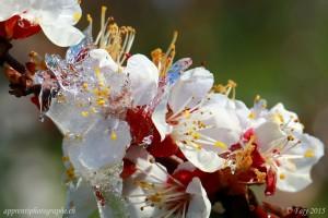 Les fleurs de l'abricotier sont prisent dans la glace protectrice