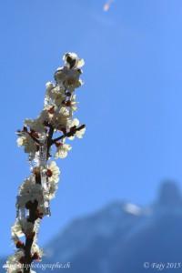 Une branche dans le soleil du valais