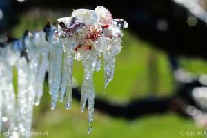 Stalactites de glace sur une branche d'abricotier en fleurs