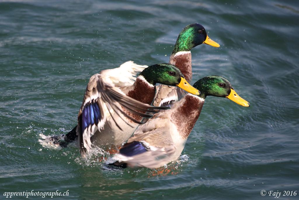Deuxième montage avec superposition de 3 photos du même canard