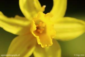 Macro de la couronne en forme de trompette d'un Narcisse jaune - Ouverture F/4