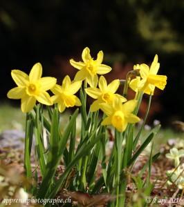 Un bouquet de narcisses du jardin - Ouverture F10